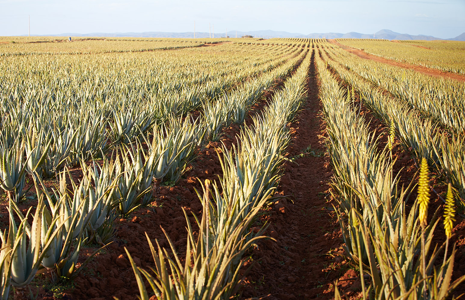 Aloe Field Dominica