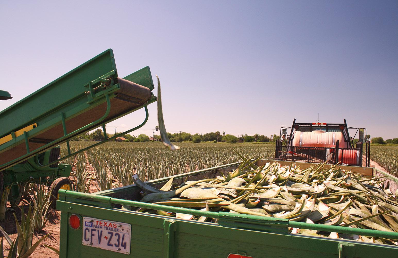 Aloe harvest